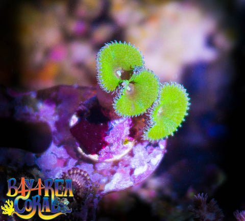 WYSIWYG - Zoanthid / Palythoa: Nuclear Green Paly