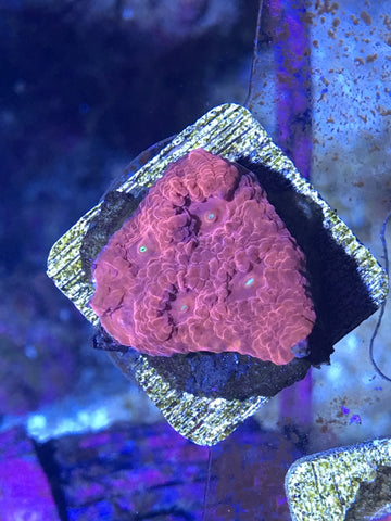 WYSIWYG Coral Frag LPS Pink Chalice