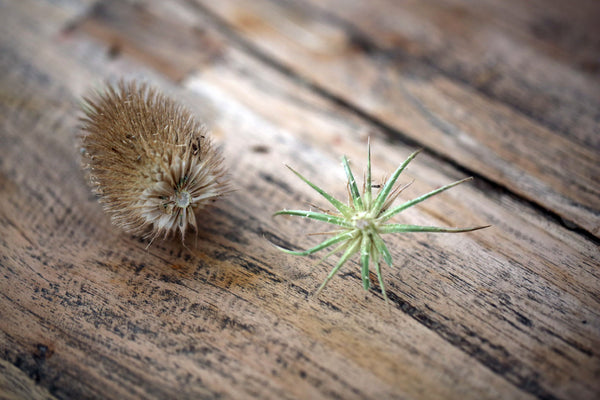 Craft Ideas for Kids Hedgehog Teasel