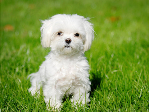 List of Small Dog Breeds That Don't Shed by Dog Threads