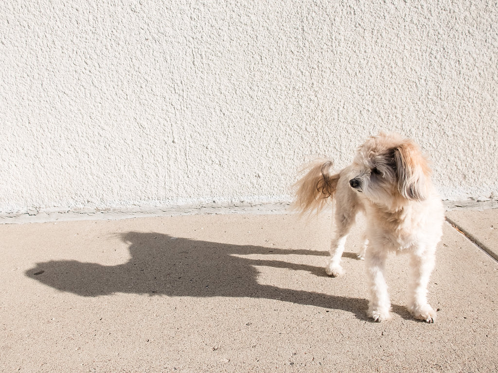 Thomas the Model @thomasthemodel by Megan Gould for Dog Threads | Pomeranian Poodle Dog