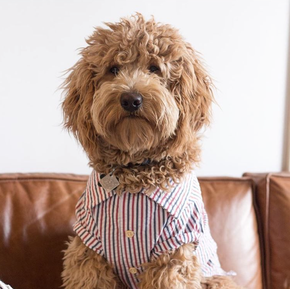 Uncle Sam Pin Stripe Shirt by Dog Threads for Lucy & Co.