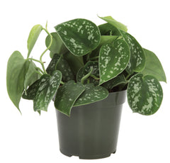 Pothos Scindapsus - Pick up Only