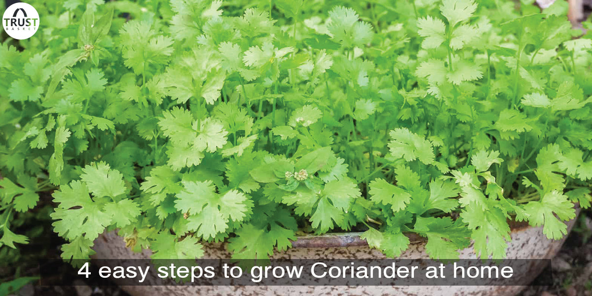 4 easy steps to grow Coriander at home