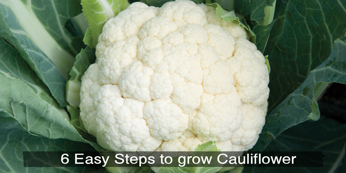 6 Easy Steps to grow Cauliflower at home in pots.