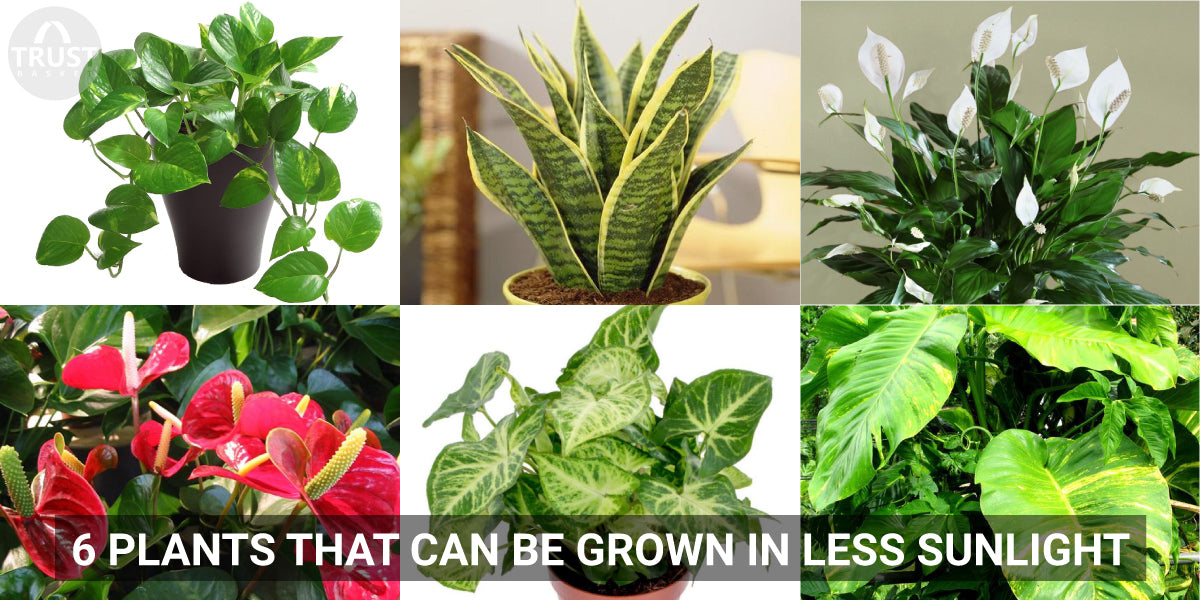 6 Plants that can be grown in less sunlight