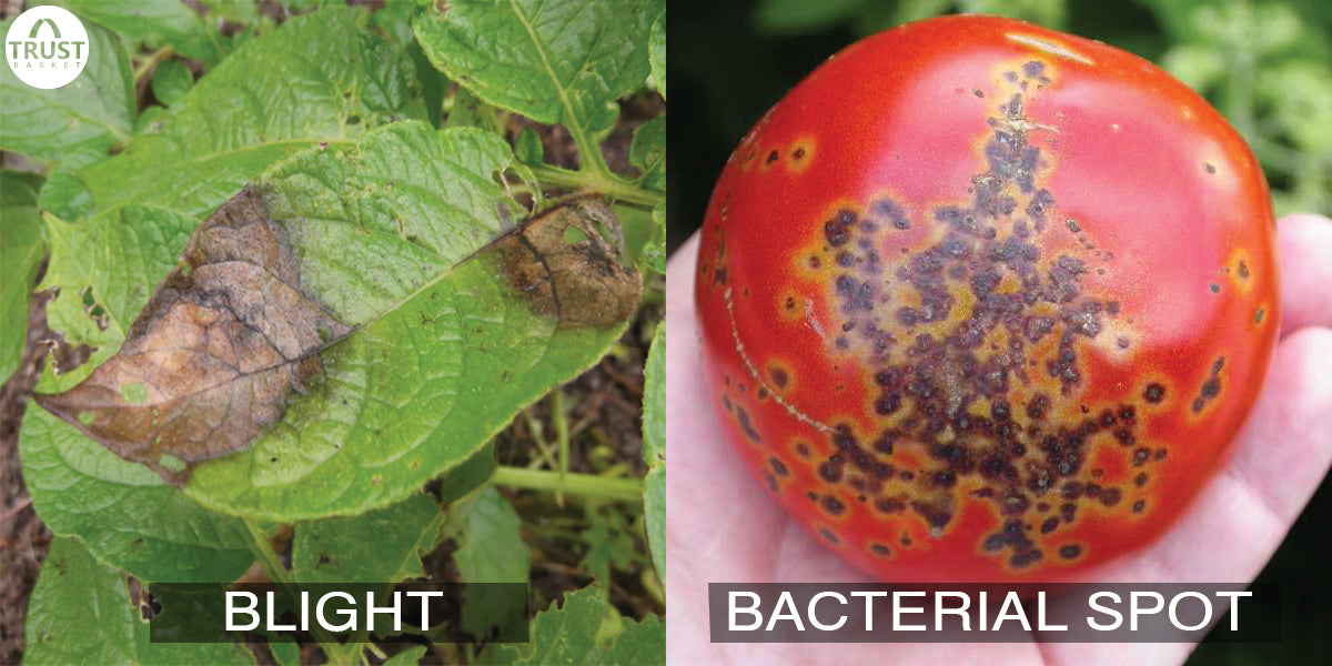 How to save your plants from Blight and Bacterial Spot?