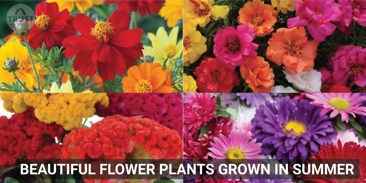 Beautiful Flower Plants grown in Summer