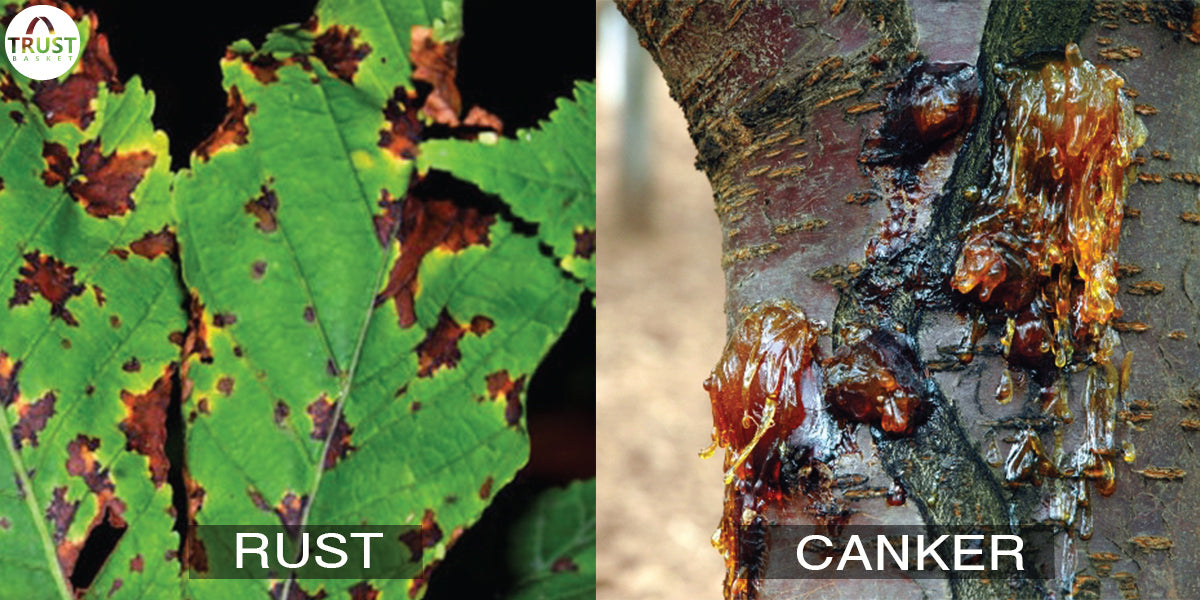 Homemade Remedies for Plant Disease - Rust and Bacterial Canker