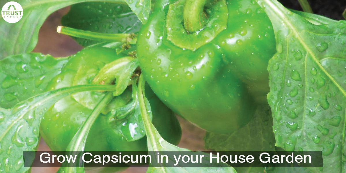 How to grow capsicum from seeds
