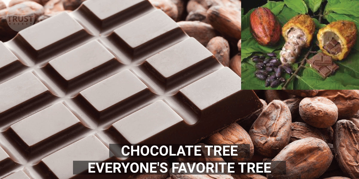 Chocolate Tree - Everyone's Favorite Tree