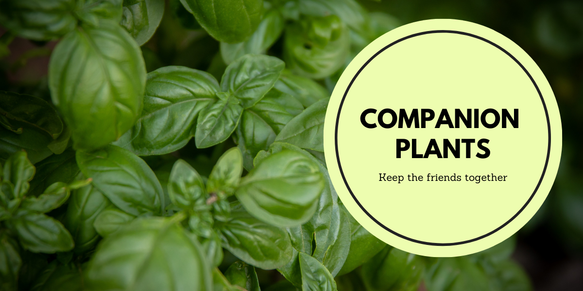 Companion planting - Keep the Friends together