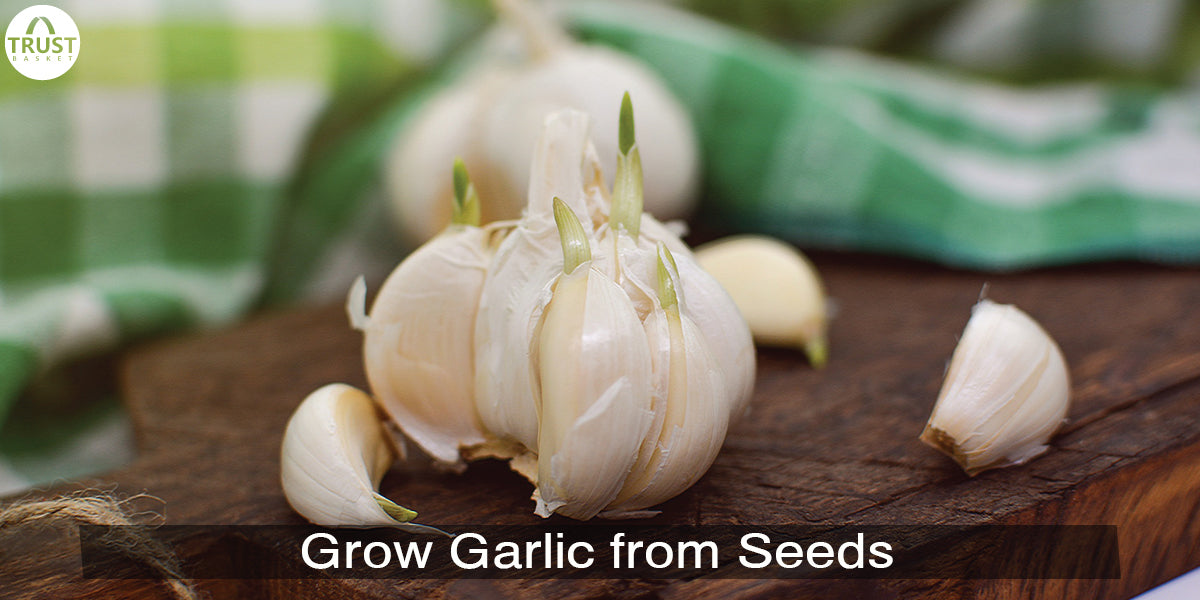 How to Grow Garlic from Seeds in Pots