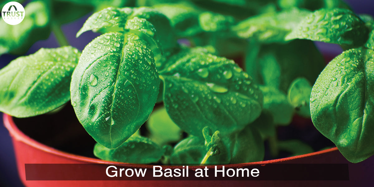 Basil leaves: How to grow basil plant