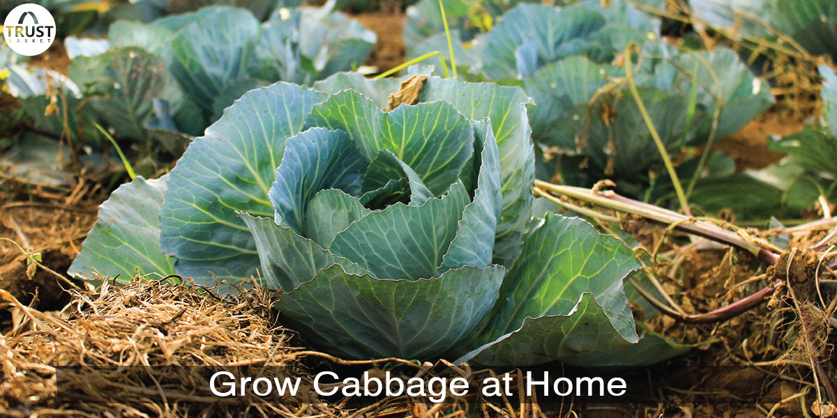 How to Grow Cabbage at Home