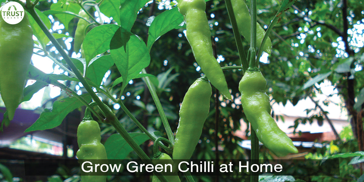 How to grow green chilli plant from seeds