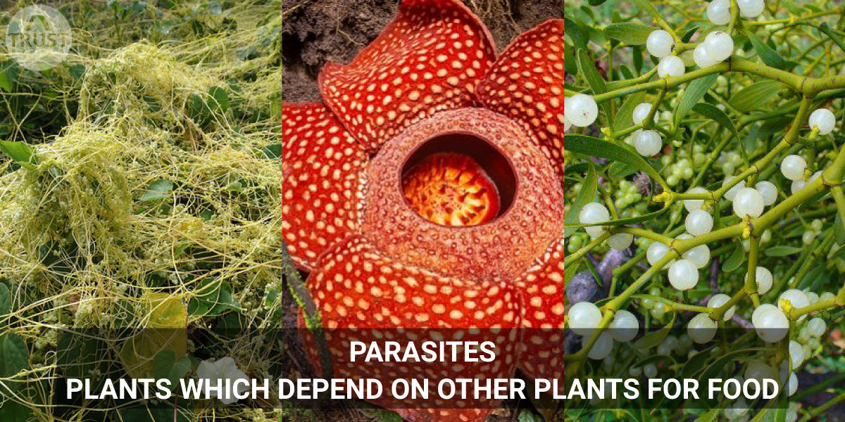 Parasites- Plants which depend on other plants for food