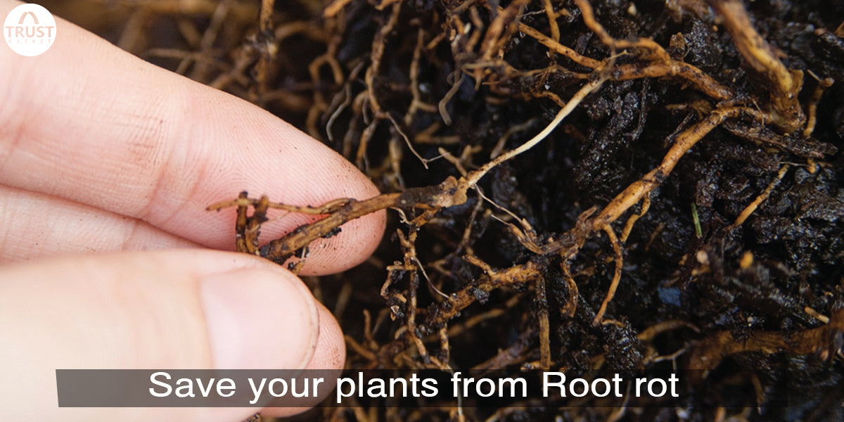 How to save plants from Root rot