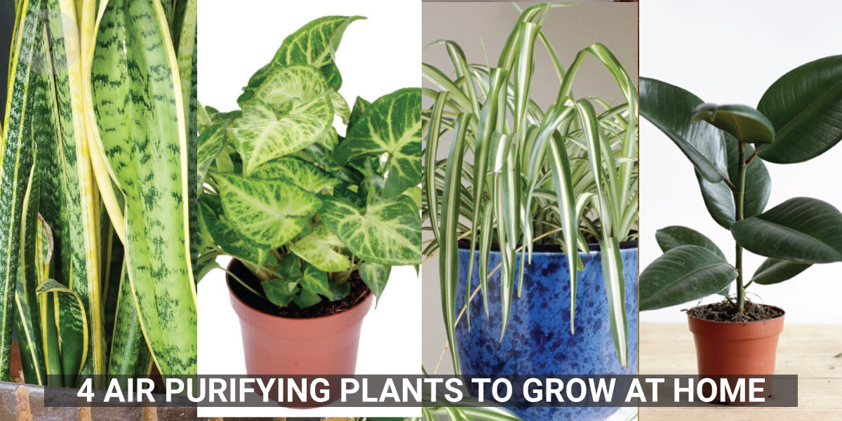 4 Air Purifying Plants to Grow at Home
