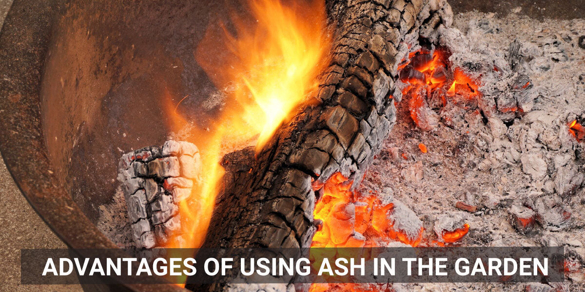 Advantages of using ash in the garden