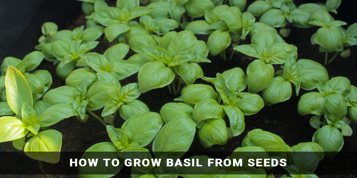 How to Grow Basil From Seeds