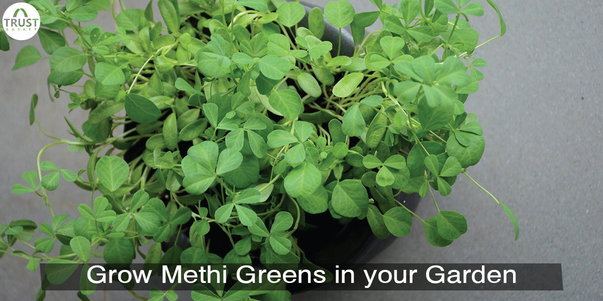 How to grow Fenugreek plant/Methi plant in your Garden