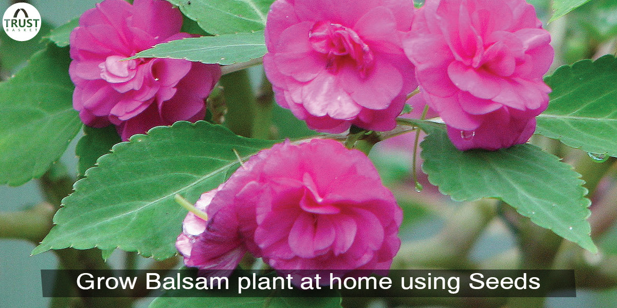 How to grow balsam plant at home using seeds