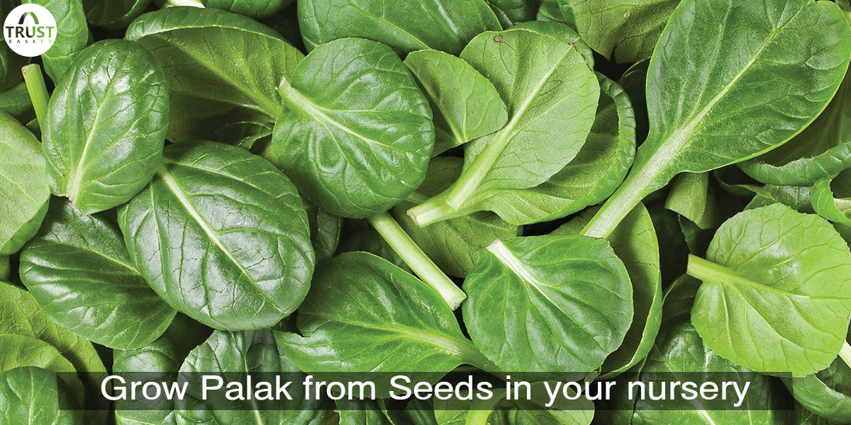 How to grow spinach Plant from seeds| Complete information on Spinach
