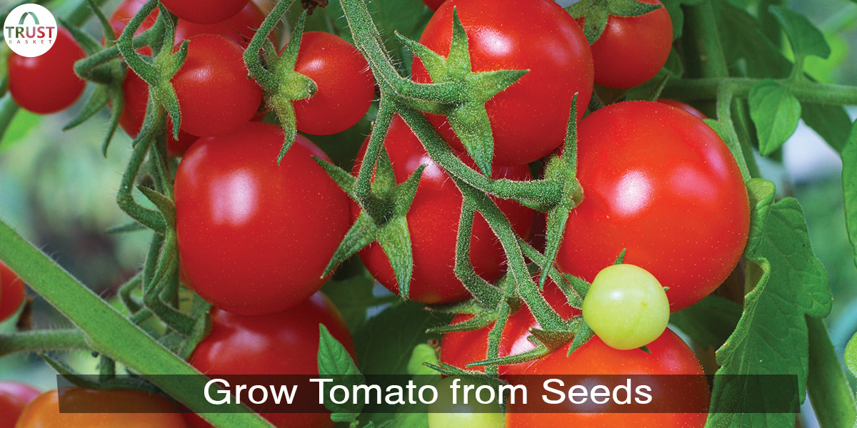 How to Grow Tomato plants at home