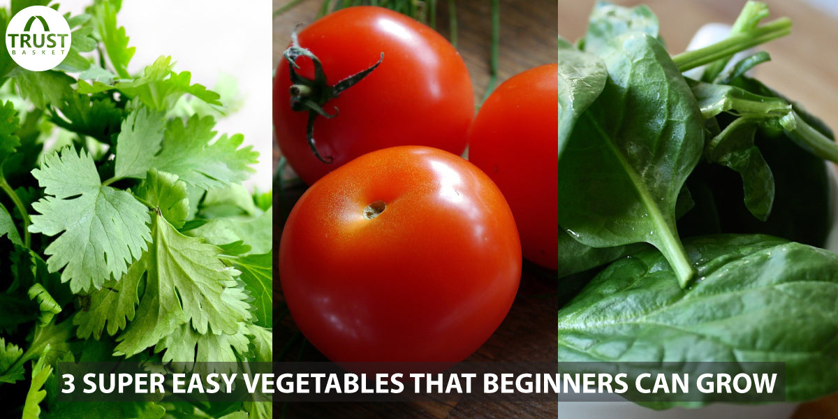 3 Super easy vegetables that beginners can grow( Tomato, Coriander and Palak)