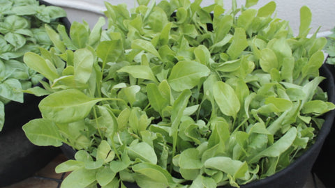 spinach plants - how to grow spinach