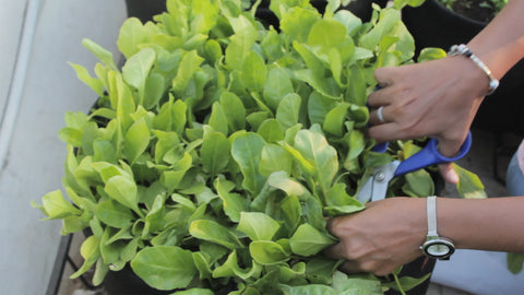 Harvesting spinach leaves without harming the grow point - tips