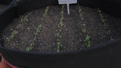Seedlings of spinach seeds - health benefits and tips