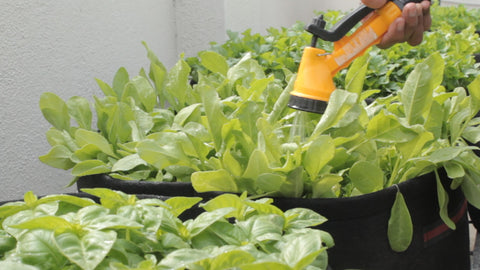 watering spinach plants - tips to grow spinach plants