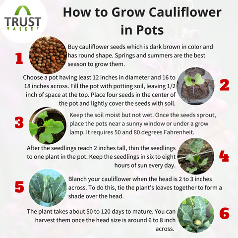 Cauliflower plants at home