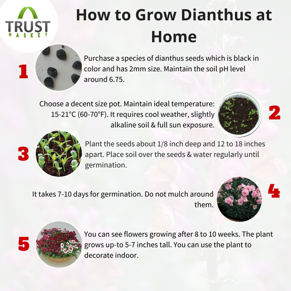 Dianthus Growing Tips