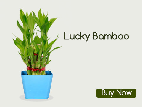Lucky Indoor Plants For Home Online. LUCKY BAMBOO
