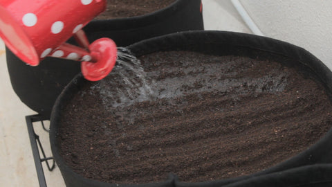 watering the sown seeds-  how to grow coriander from seeds