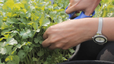 harvesting coriander stems - how to grow coriander with/without seeds