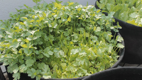 how to grow coriander with/without seeds