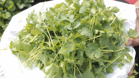 harvested coriander stems - how to grow coriander with/without seeds