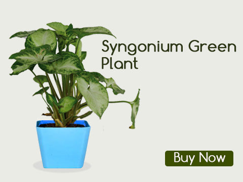 SYNGONIUM GREEN PLANTS