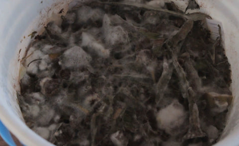 cottony growth on top of decomposing waste - Indoor composter