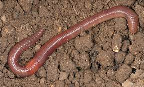red earthworms for vermicomposting