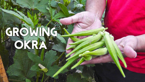 How To Grow Okra Plant From Seeds In India Trustbasket