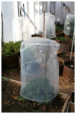 protecting plant with plastic wrap- winter care