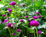 Gomphrena purple seeds (OP) - Trust Basket  - 1