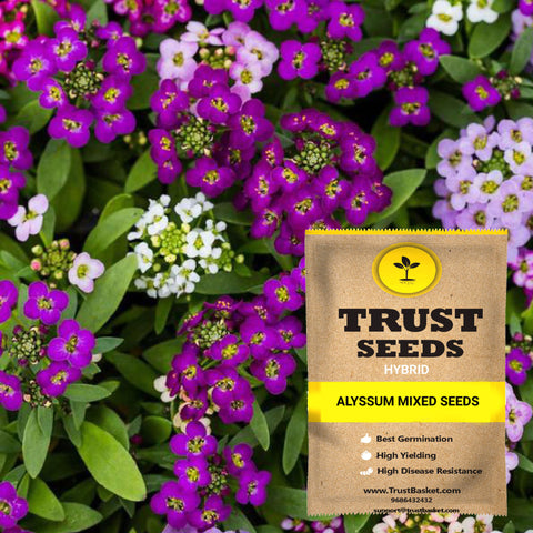 Under Rs.299 - Alyssum mixed seeds (Hybrid)