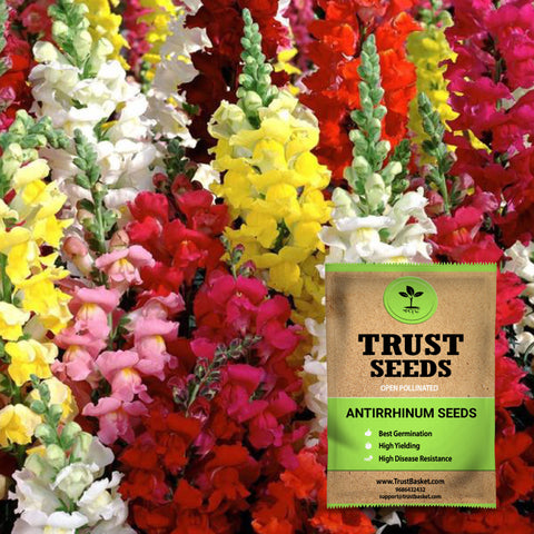 Colorful Designer made planters - Antirrhinum seeds (Open Pollinated)