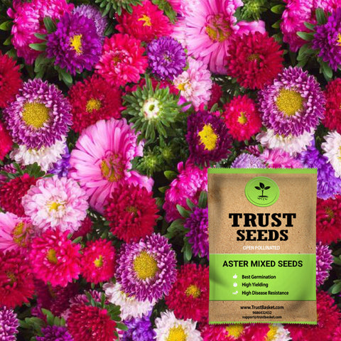 Buy Best Aster Plant Seeds Online - Aster mixed seeds  (Open Pollinated)
